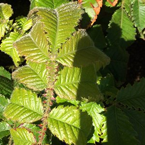 Davidsons Plum Foliage