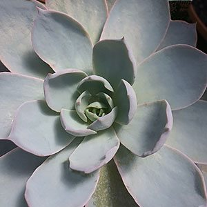 Echeveria  'Morning Beauty'