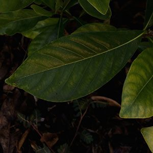 Gardenia (Kailarsenia) vietnamensis foliage