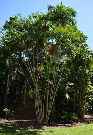 Macarthur Palm - Ptychosperma macarthuri