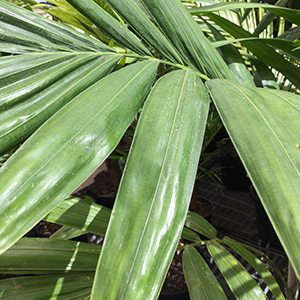 Ptychosperma elegans - The Solitaire Palm
