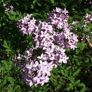 Syringa protolaciniata Kabul - The Afghan Lilac
