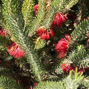 Calothamnus quadrifidus - Foliage