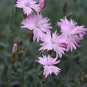 Dianthus gratianopolitanus - Cheddar Pinks