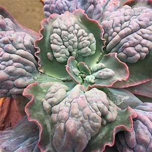 Echeveria Etna - A Bumpy Leafed Echeveria