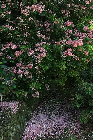 Kalmia latifolia -Clementine Churchill