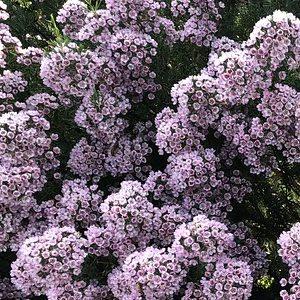 Verticordia plumosa