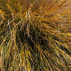Anemanthele lessoniana - Pheasant's Tail Grass or New Zealand Wind Grass