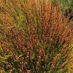 Baloskion tetraphyllum - Tassel Cord Rush