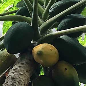 Carica papaya - Pawpaw Tree