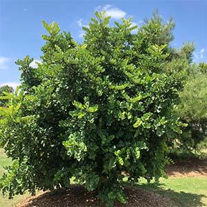 Ceratonia siliqua - Carob Tree