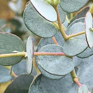 Eucalyptus gunnii  - The Cider Gum