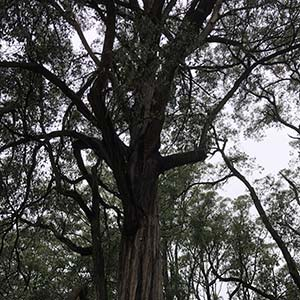 Eucalyptus obliqua - The messmate stringybark