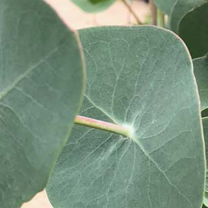 Eucalyptus perriniana - Spinning Gum