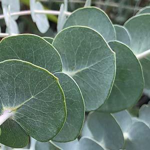Eucalyptus pulverulenta - SilverDollar Gum