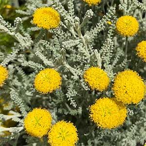 Santolina chamaecyparissus - Cotton Lavender