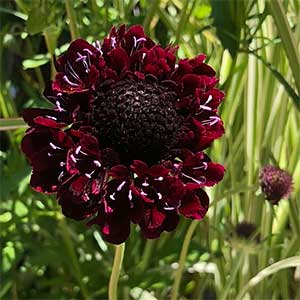 Scabiosa 'Midnight'