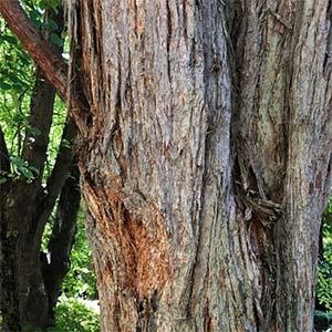 Turpentine Tree - Syncarpia glomulifera