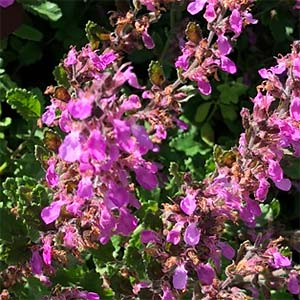 Wall germander (Teucrium chamaedrys)