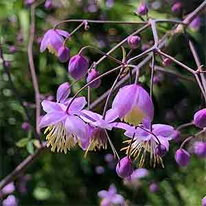 Thalictrum delavayi - Chinese meadow-rue
