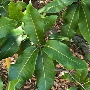 Turpentine Tree - Syncarpia glomulifera Foliage