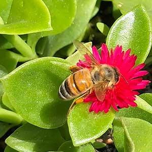 Aptenia cordifolia -  Baby Sun Rose