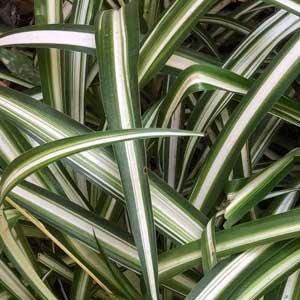 Spider Plant - Chlorophytum comosum