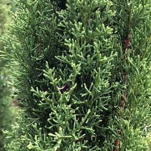 Cupressus sempervirens 'glauca' - Italian Pencil Pine