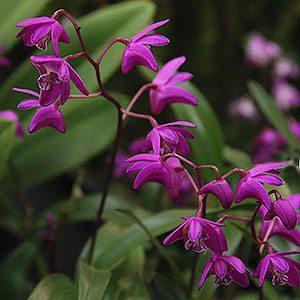 Dendrobium kingianum - The Pink Rock Orchid