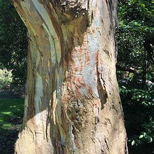 Eucalyptus camaldulensis - River Red Gum Bark.