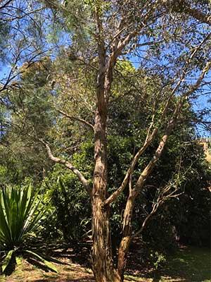 Eucalyptus leucoxylon ssp leucoxylon - The Yellow Gum