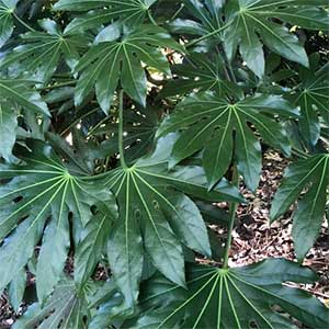 Fatsia japonica - The Japanese Aralia