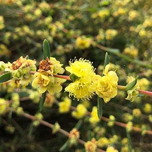 Hypocalymma xanthopetalum – 'Golden Flowered Myrtle'