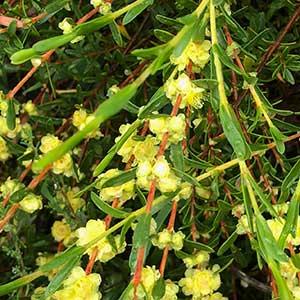 Hypocalymma xanthopetalum – Golden Myrtle