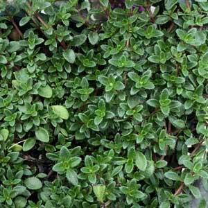 Thymus serpyllum Coccineus - Foliage