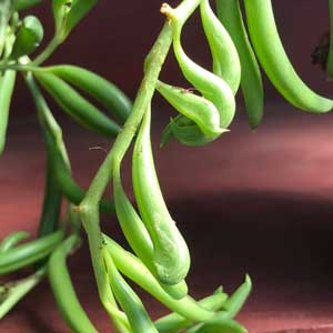 The String of Beans Plant -  Senecio radicans