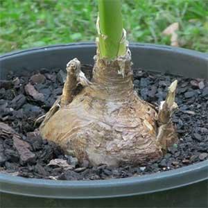 Amarygia parkeri - Bulb