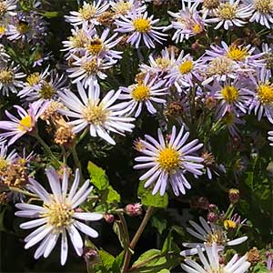 Aster ageratoides - The Japanese Aster