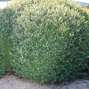 Darwinia citriodora - Lemon Scented Myrtle