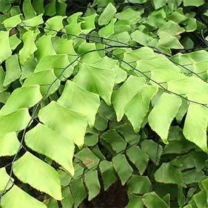 Adiantum trapeziforme - Giant Maidenhair Fern
