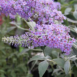 Buddleja fallowiana -Lochinch