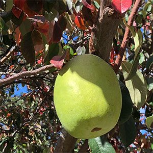 Chinese Quince Tree