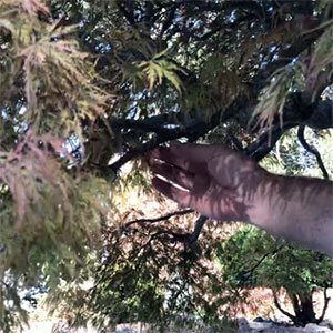 Selecting where to prune Japanese Maples
