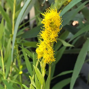 Solidago - The Goldenrods