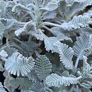Tanacetum densum ssp. amanum