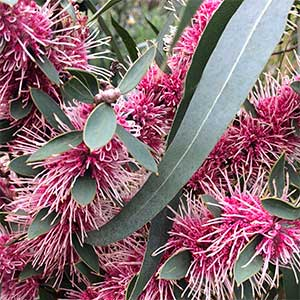 Hakea Burrendong Beauty Flower and Foliage