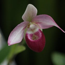 Selenipedium Orchid