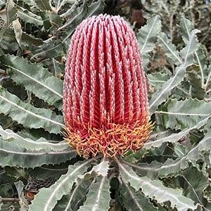 Banksia Menziesii  - Firewood Banksia