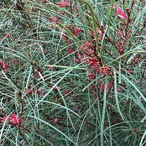 Grevillea dimorpha - The Flame Grevillea