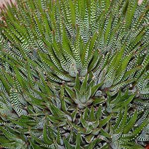 Haworthia attenuata - The Zebra Plant